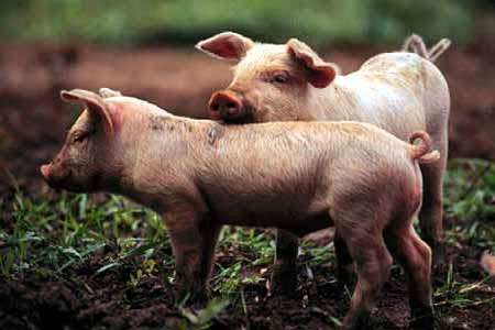 imagenes de cerdos