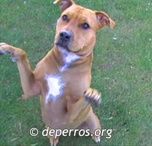 imagenes de perros pitbull