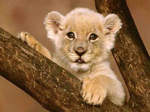 fotos de leones