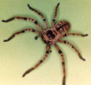 imagenes de arañas